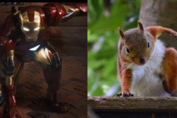 外國網友發現:松鼠的落地姿勢,竟和「鋼鐵人」一樣,每一隻都霸氣又帥萌