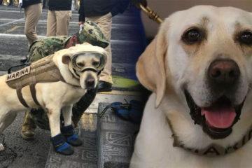 救過50人工作犬退役,缷下裝備叼起玩具:不用再那麼累,你可以開心玩了!