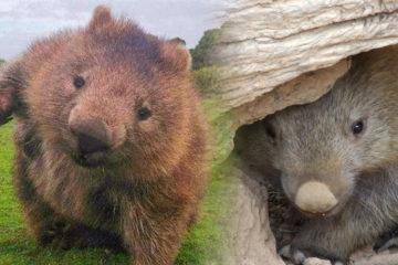 澳洲野火無情牠有情!「袋熊」努力挖洞,讓無尾熊一起避難,致敬