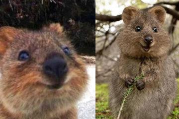 牠是澳洲微笑天使,連睡覺都在笑,被認證為「地球上最歡樂的動物」