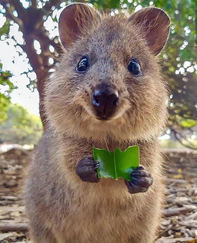超萌短尾矮袋鼠,自拍都會看鏡頭微笑,瀕危的原因超奇怪