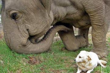 最好的朋友走了,大象「將白狗一路運回家」:我帶妳回家,再也不分開
