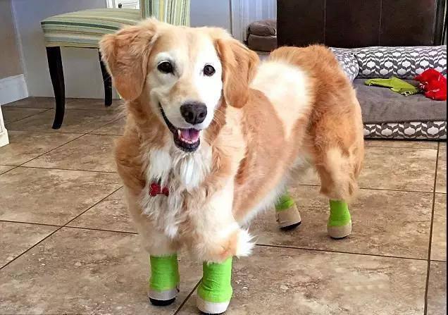 狗肉場死裡逃生、四肢被截,從金毛變柯基,如今用笑容治癒所有人