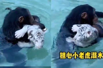 猩猩一把抱起落水的小老虎,小心交給飼育員:「別再讓牠掉下來了喔!」
