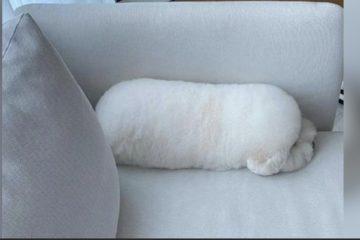 比熊喜歡趴睡「裝抱枕」 麻麻:不小心就坐下去了!